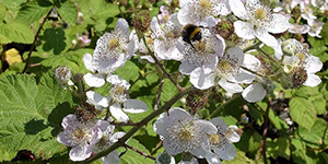 Rubus armeniacus – description, flowering period and time in Arkansas, Rubus armeniacus (Himalayan blackberry) branch with flowers. Bumblebee collects nectar..