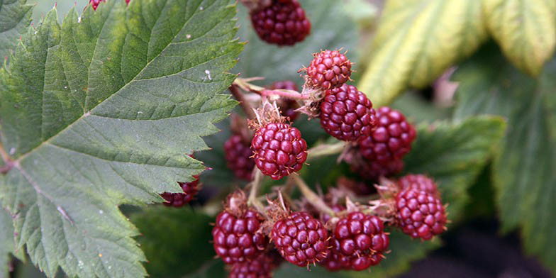 Canadian blackberry – description, flowering period and general distribution in Nova Scotia. ripe berries, a beautiful bunch