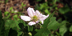 Rubus canadensis – description, flowering period and time in Georgia, pink flower close-up.
