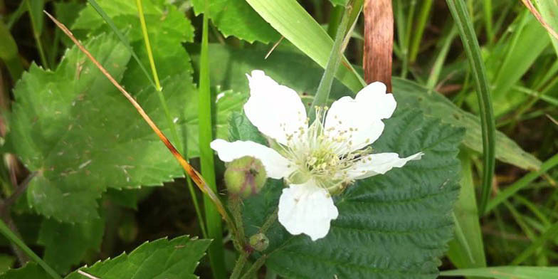 Wild red raspberry – description, flowering period. Rubus idaeus (Raspberry) large, beautiful flower