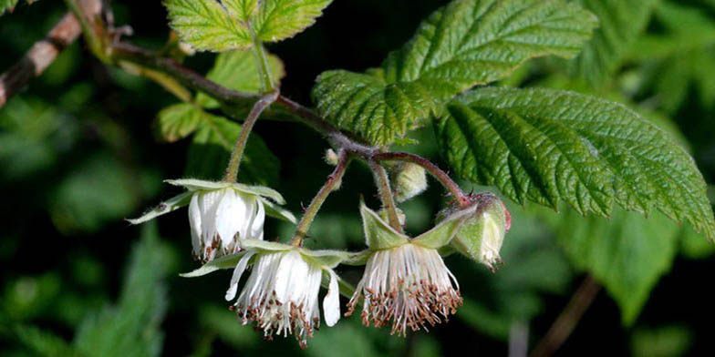 Wild red raspberry – description, flowering period. Rubus idaeus (Raspberry) little flowers