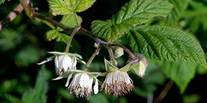 Rubus idaeus – description, flowering period and time in Arkansas, Rubus idaeus (Raspberry) little flowers.