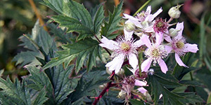 Rubus laciniatus – description, flowering period and time in Wyoming, beautiful flowers on a branch.