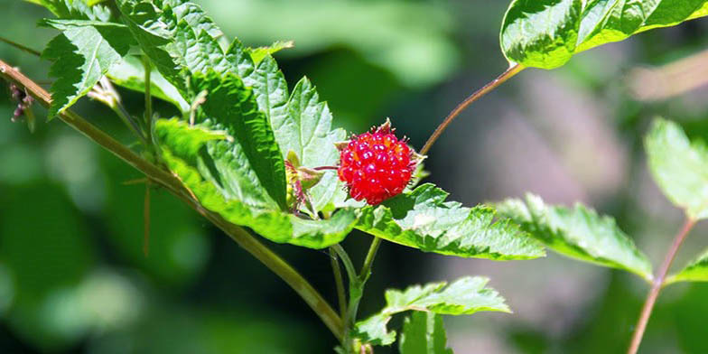 Salmonberry – description, flowering period. lonely berry on a branch