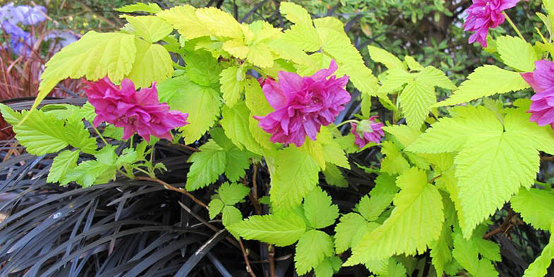 Salmonberry – description, flowering period. branch with scarlet big flowers