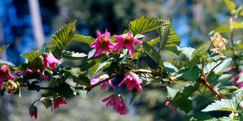 Salmonberry – description, flowering period. branch with scarlet flowers in the bright sun
