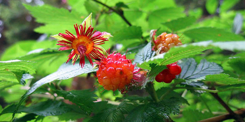 Salmonberry – description, flowering period. branch with faded flower and green berries