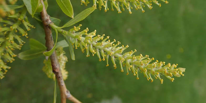 Peach leaf willow – description, flowering period and general distribution in Wisconsin. Branches of a plant with flowers and leaves