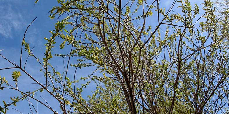 Peach leaf willow – description, flowering period and general distribution in Wisconsin. Plant against the sky