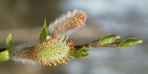 Salix arbusculoides – description, flowering period and time in Alaska, willow branch at the beginning of the flowering period.
