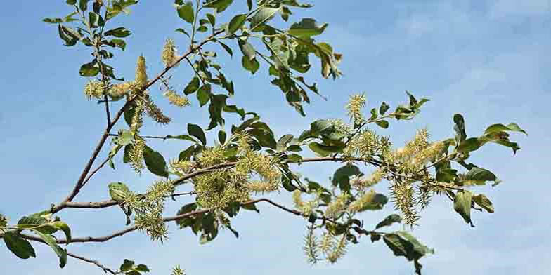Chaton – description, flowering period. Beautiful flowering branch against the blue sky