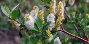 Salix boothii – description, flowering period and time in Wyoming, Branch with catkins and green leaves.