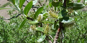 Salix brachycarpa – description, flowering period and time in Wyoming, willow at the beginning of flowering.