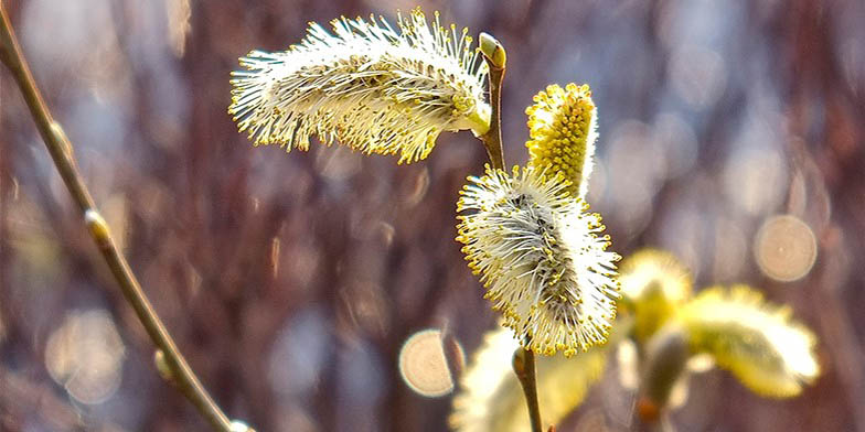 Glaucous willow – description, flowering period. Flowering plant, contrasting background