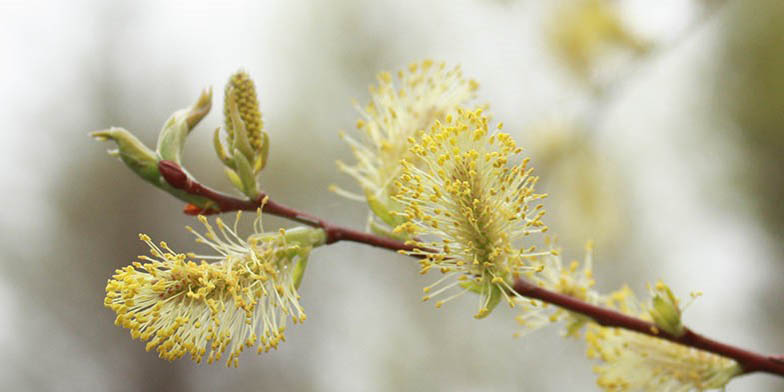 Glaucous willow – description, flowering period. Flowering plant
