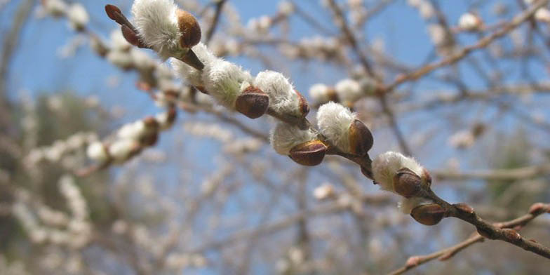 Glaucous willow – description, flowering period. A branch with open catkins