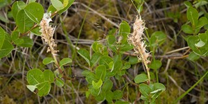 Salix fuscescens – description, flowering period and time in Alaska, Flowering plant.
