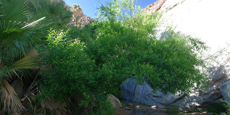Valley willow – description, flowering period. young green bush among the rocks