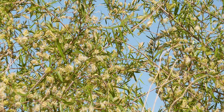 Valley willow – description, flowering period. end flowering period