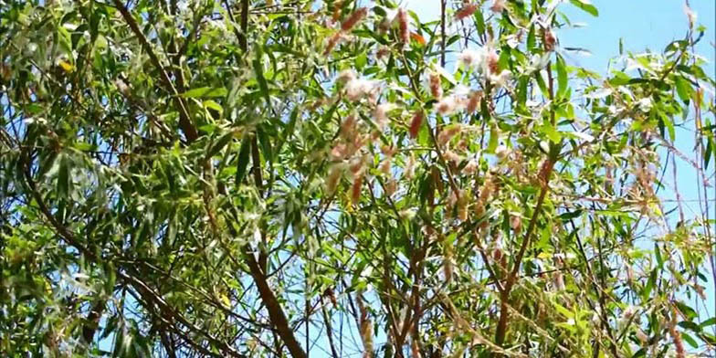 Pacific willow – description, flowering period. Flowering plant