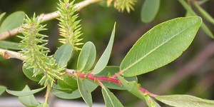 Salix lutea – description, flowering period and time in Wyoming, flowering branch close-up.