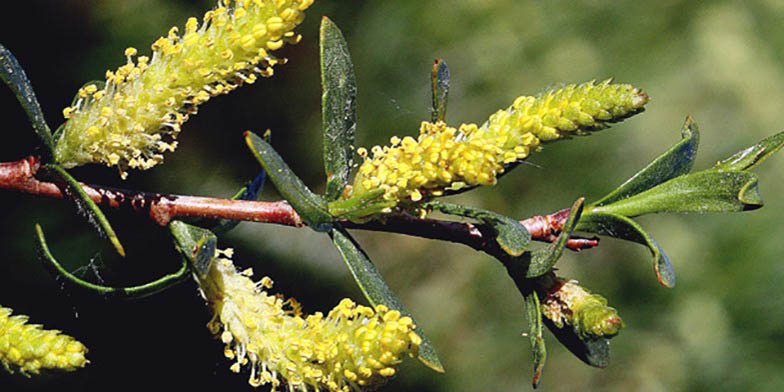 Park willow – description, flowering period. Flowering plant, beautiful colors