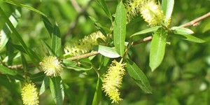 Salix nigra – description, flowering period and time in Arkansas, Earrings and green leaves on a branch.