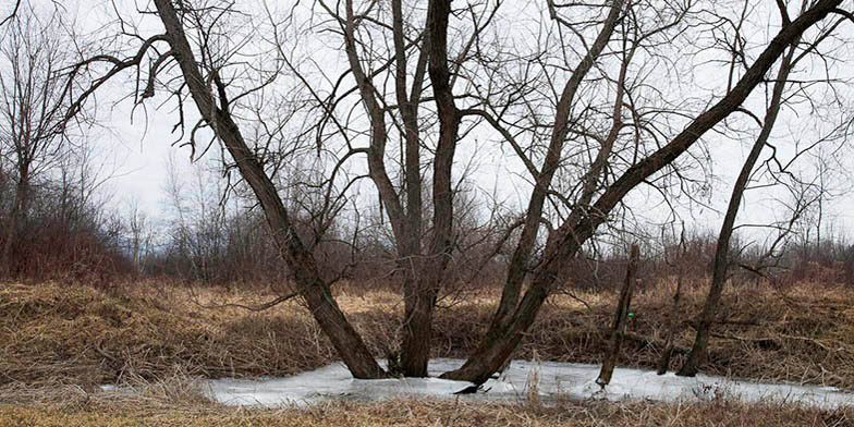 Salix nigra – description, flowering period and general distribution in Minnesota. Tree in winter