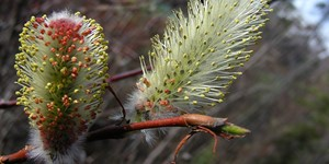 Salix pulchra – description, flowering period and time in Alaska, Young leaves and catkins on a branch.