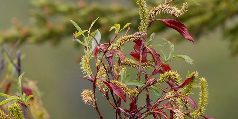 Paneleaf willow – description, flowering period. Branches, leaves and catkins create an unusual shape