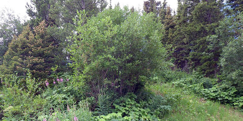 Salix scouleriana – description, flowering period and general distribution in South Dakota. Shrub in the summer forest