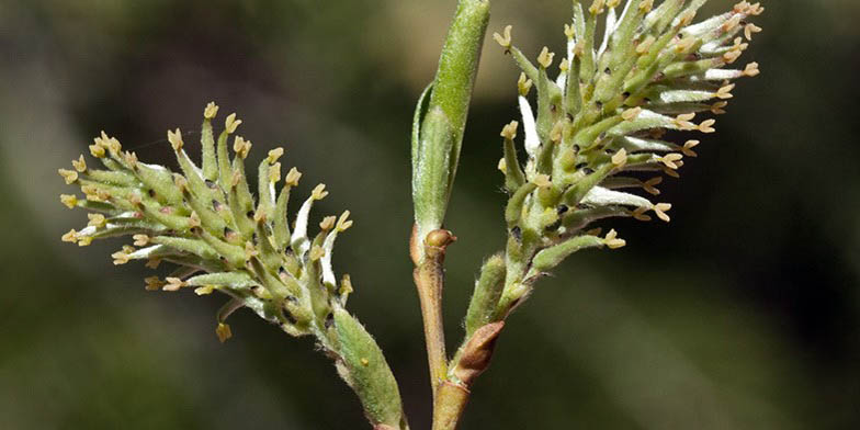 Salix scouleriana – description, flowering period and general distribution in South Dakota. Beginning of flowering