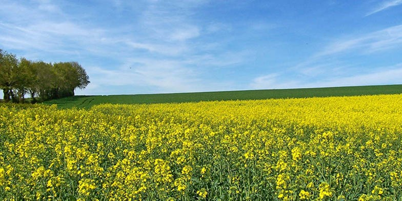 Rapeseed mustard – description, flowering period. blooming summer field