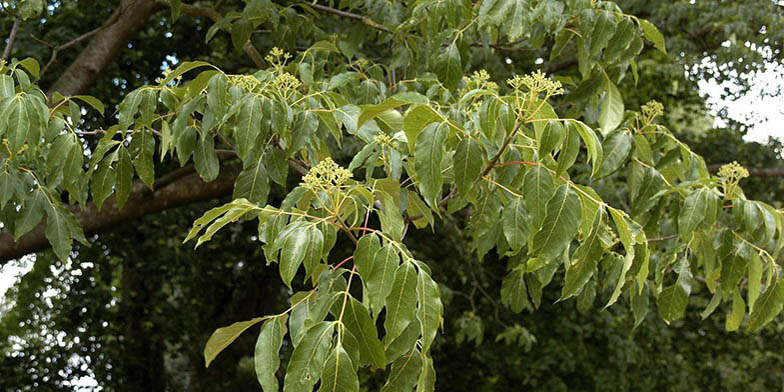 Euodia – description, flowering period. Tetradium (Bee bee tree) flowering.