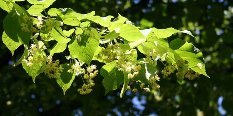 Basswood – description, flowering period and general distribution in Maryland. Flowering linden twig