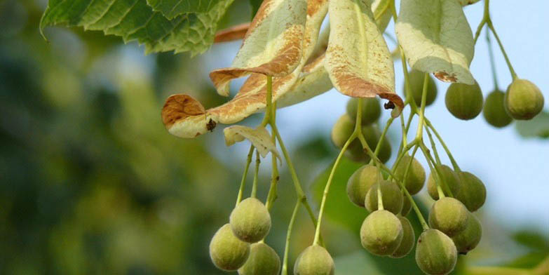 Basswood – description, flowering period and general distribution in Maryland. Basswood - Summer honey plant
