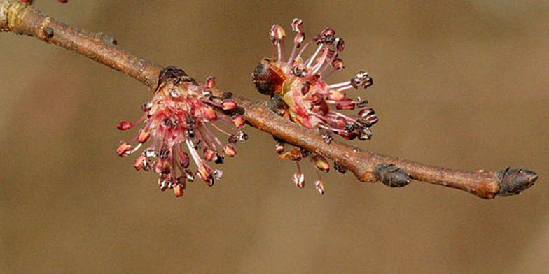 Soft elm – description, flowering period and general distribution in Wyoming. Spring branch with blooming flowers