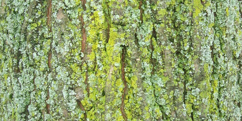 Water elm – description, flowering period and general distribution in Wisconsin. Bark with a little moss on it