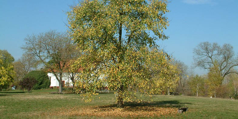 Florida elm – description, flowering period and general distribution in Wisconsin. Beginning of autumn, the plant begins to dump foliage, against the background of an old house.