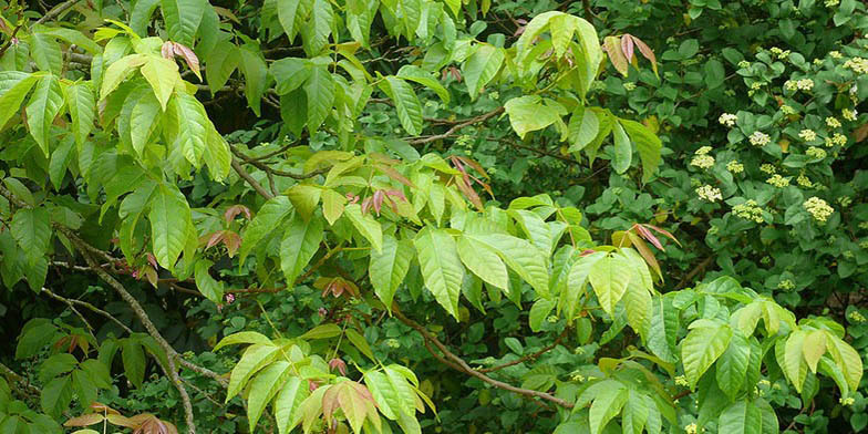 Mexican buckeye – description, flowering period. Branch with foliage of different shades of green