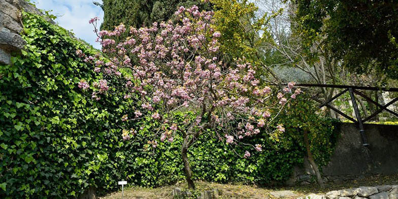 Mexican buckeye – description, flowering period. Flowering tree in the park