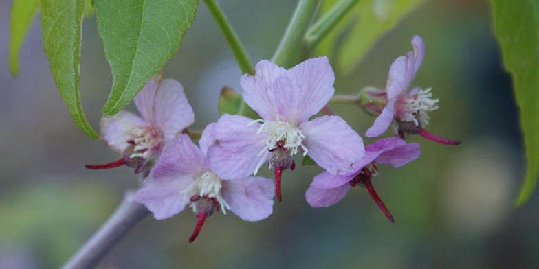 Mexican buckeye – description, flowering period. The flowers on a branch close-up
