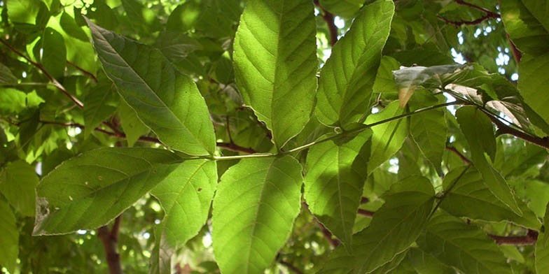 Mexican buckeye – description, flowering period. Green leaves close up