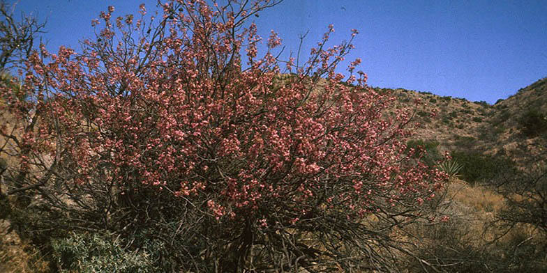 Mexican buckeye – description, flowering period. Flowering shrub