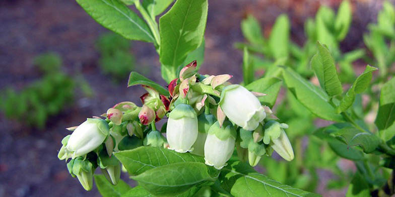 Early low-bush blueberry – description, flowering period. beautiful white flowers on a branch, summer, close-up