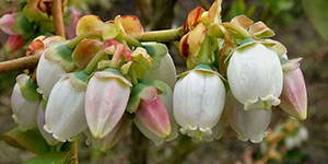 Vaccinium corymbosum – description, flowering period and time in Arkansas, Highbush blueberry (Vaccinium corymbosum) flowers closeup.