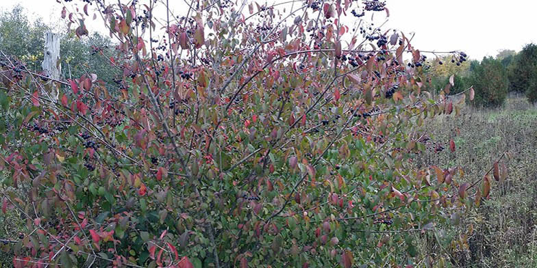 Black haw – description, flowering period and general distribution in Delaware. Black haw (Viburnum prunifolium) young plant in early autumn
