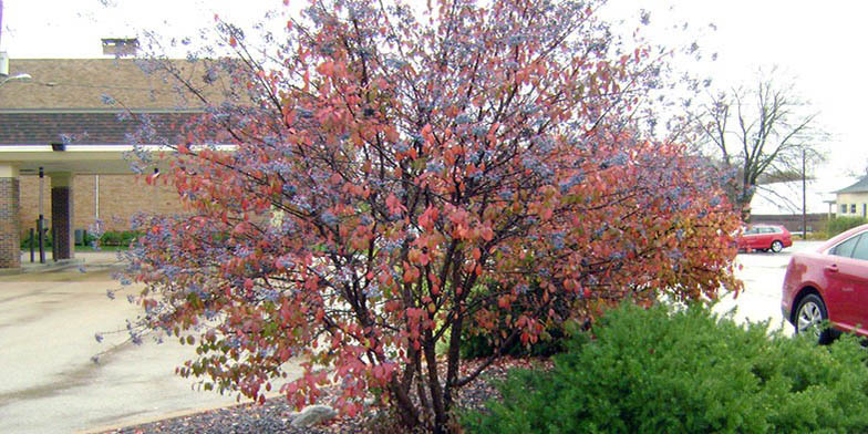 Black haw – description, flowering period and general distribution in Delaware. Black haw (Viburnum prunifolium) neat tree in the city, autumn