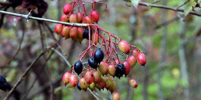 Black haw – description, flowering period. Black haw (Viburnum prunifolium) close-up of green and ripe fruits