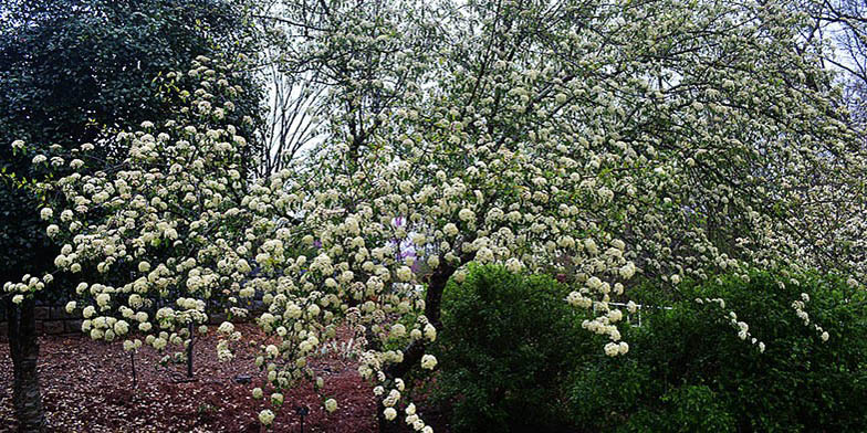 Black haw – description, flowering period and general distribution in Delaware. Blackhaw viburnum tree covered with white flowers